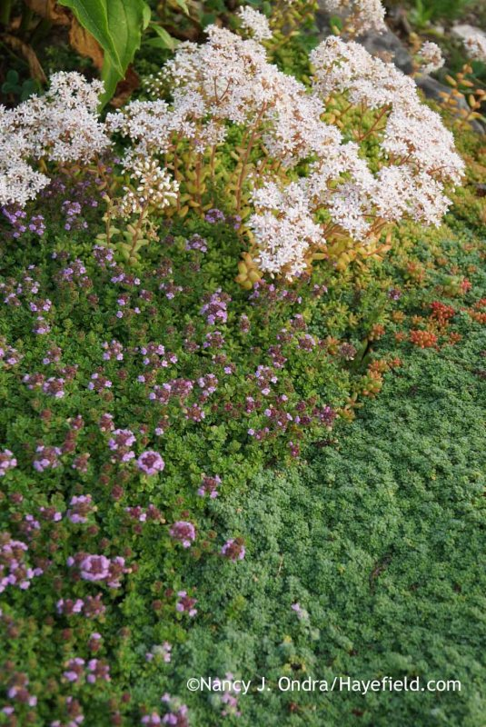 Creeping thyme (Thymus praecox) and 'Elfin' thyme with white sedum (Sedum album) [Nancy J. Ondra at Hayefield]
