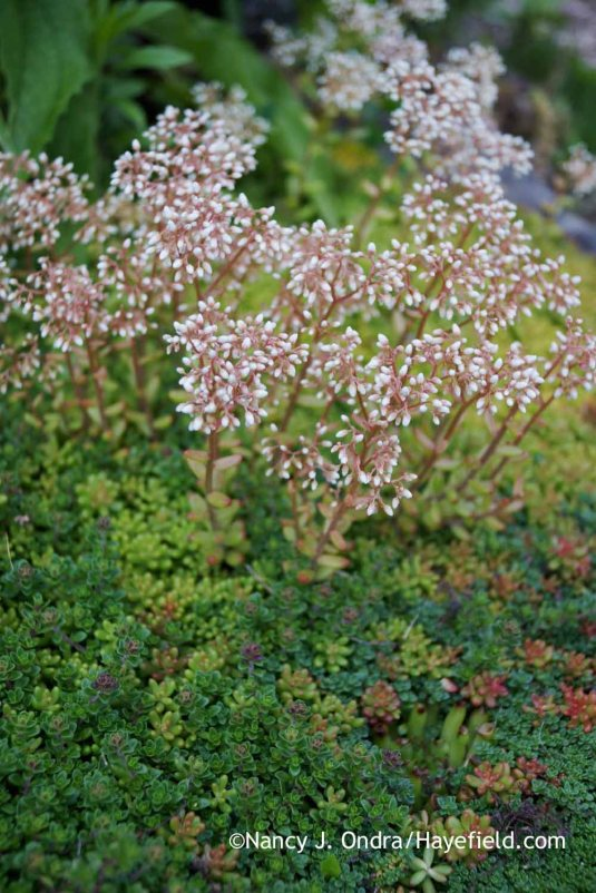 At the other end of the height spectrum: tiny white sedum (Sedum album), with some creeping thyme (Thymus coccineus) in the foreground [Nancy J. Ondra at Hayefield]