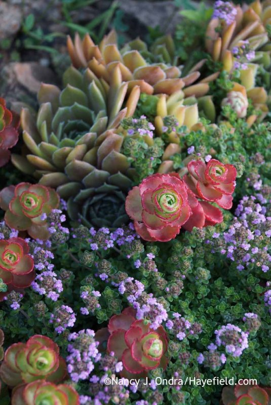 'Elizabeth' two-row sedum (Sedum spurium) with creeping thyme (Thymus praecox) and hens-and-chicks (Sempervivum) [Nancy J. Ondra at Hayefield]