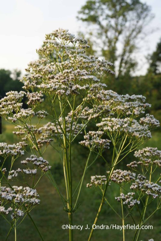 Common valerian (Valeriana officinalis) [Nancy J. Ondra at Hayefield]