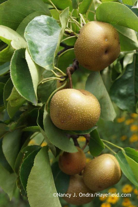 Asian Pears [Nancy J. Ondra at Hayefield]