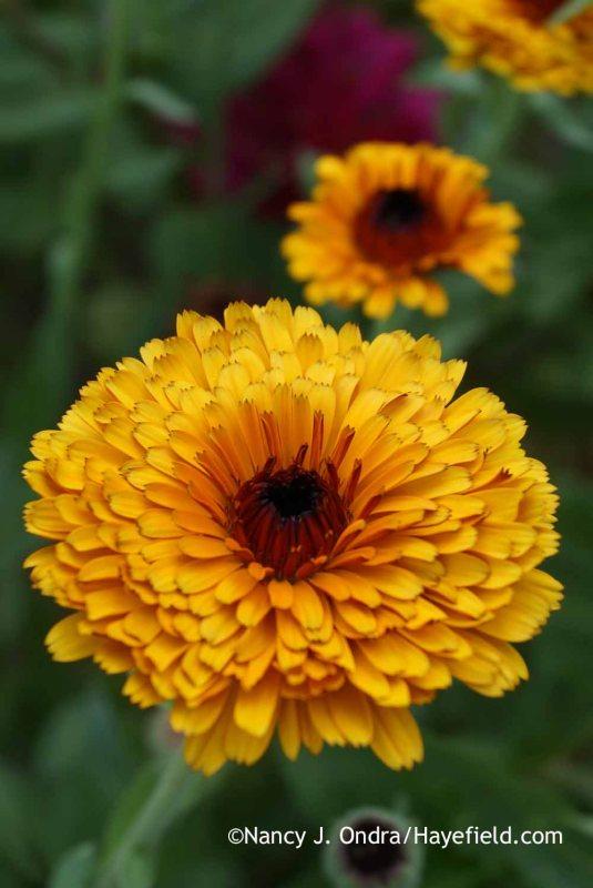 Pot marigolds (<em>Calendula officinalis</em>) [Nancy J. Ondra at Hayefield]