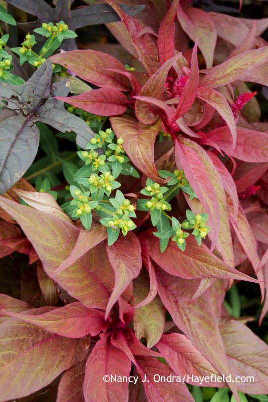 'Dragon's Breath' celosia (Celosia) with Euphorbia palustris 'Zauberflote' [Nancy J. Ondra at Hayefield]