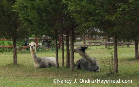 Alpacas Daniel and Duncan under the cedars at Hayefield [Nancy J. Ondra]