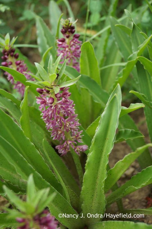 'Leia' pineapple lily (Eucomis) [Nancy J. Ondra at Hayefield]