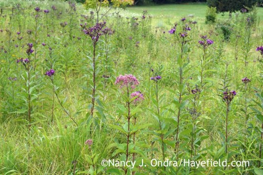 Many of the meadow perennials--like these New York ironweed (<em>Vernonia noveboracensis</em>) and Joe-Pye weed (<em>Eutrochium maculatum</em>)--are a good 2 feet shorter than usual, but they're still looking good. In fact, the ironweed is even more handsome than usual, since its leaves are not disfigured by the orange rust that usually infects them this time of year. [Nancy J. Ondra at Hayefield]