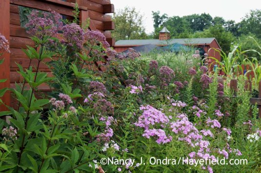 Joe-Pye weed (Eutrochium maculatum) with summer phlox (Phlox paniculata) [Nancy J. Ondra at Hayefield]