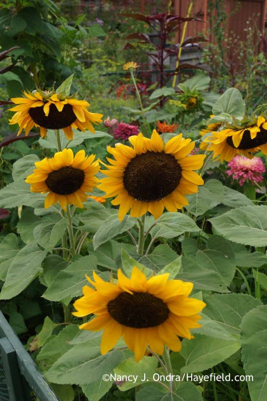 'ProCut Orange' annual sunflowers (Helianthus annuus) [Nancy J. Ondra at Hayefield]