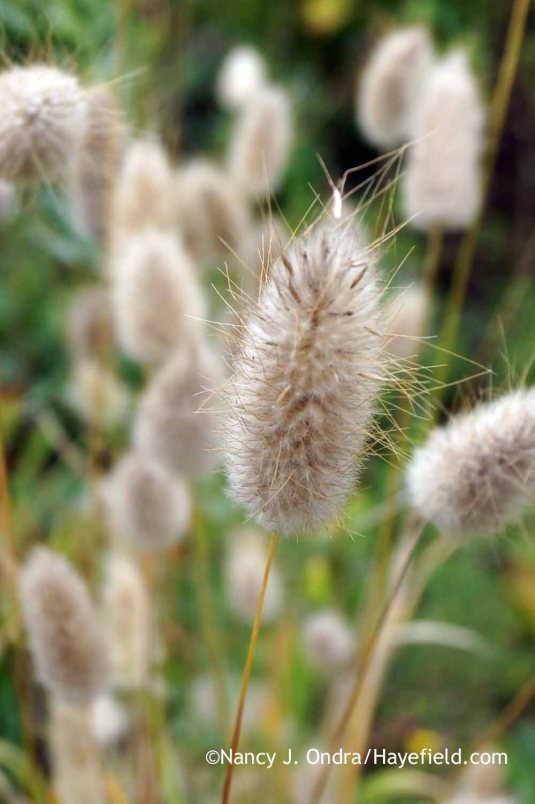 Bunny tail grass (Lagurus ovatus) [Nancy J. Ondra at Hayefield]