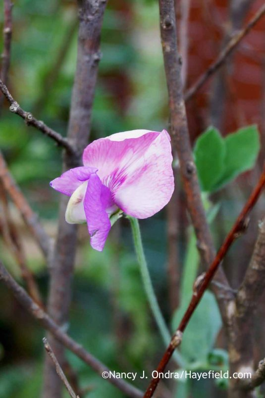 Lathyrus odoratus in August [Nancy J. Ondra at Hayefield]