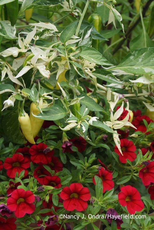 Fabulously variegated 'Fish' pepper (Capsicum annuum) with MiniFamous Vampire calibrachoa (Calibrachoa 'Kleca09172') [Nancy J. Ondra at Hayefield]