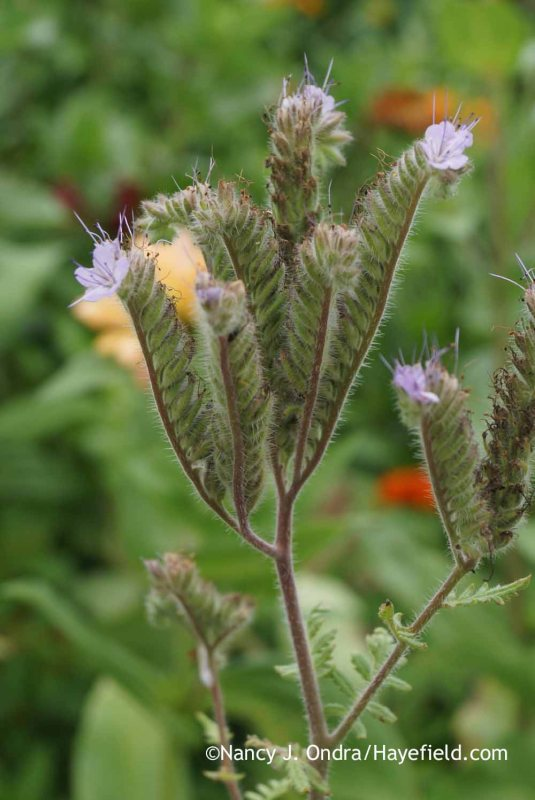 Lacy phacelia (Phacelia tanacetifolia) [Nancy J. Ondra at Hayefield]