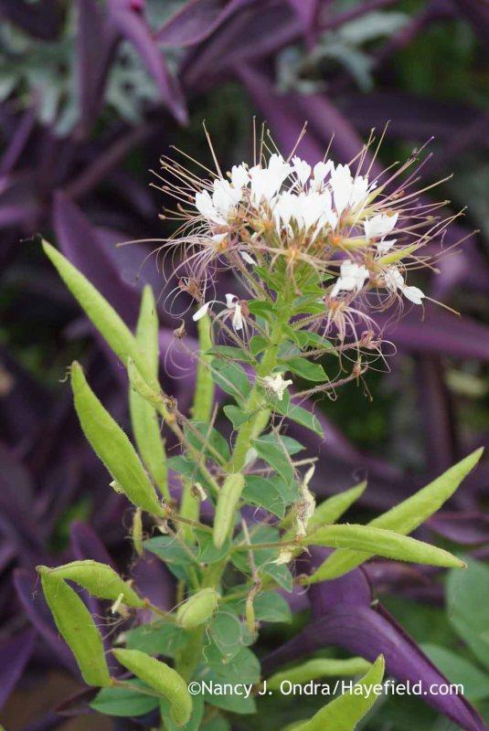 Red clammyweed (Polanisia dodecandra) [Nancy J. Ondra at Hayefield]