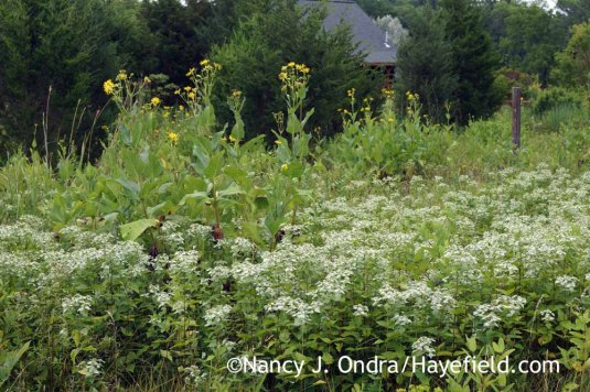 Cup plant (Silphium perfoliatum) fighting it out with clustered or short-toothed mountain mint (Pycnanthemum muticum) in the meadow. [Nancy J. Ondra at Hayefield]