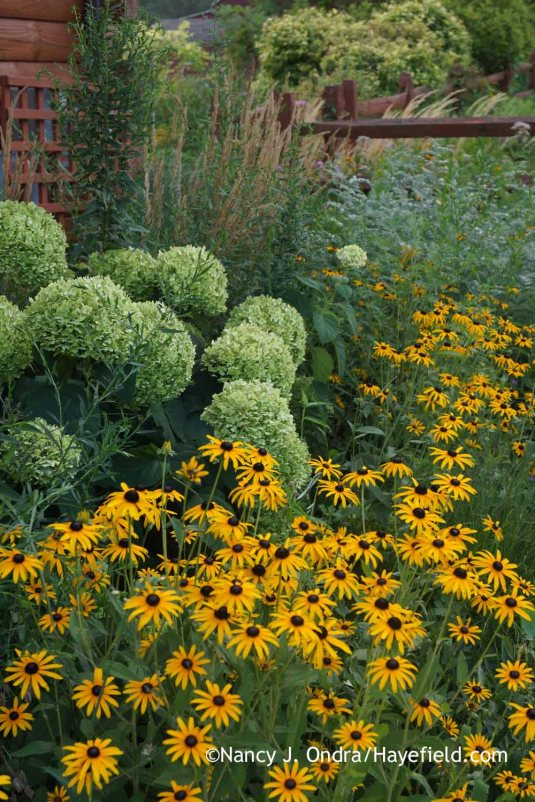 Orange cornflower (Rudbeckia fulgida var. fulgida) with 'Anabelle' smooth hydrangea (Hydrangea arborescens) [Nancy J. Ondra at Hayefield]