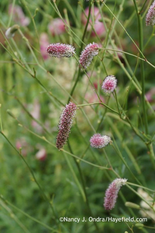 A pink-flowered Japanese burnet (Sanguisorba tenuifolia) seedling [Nancy J. Ondra at Hayefield]