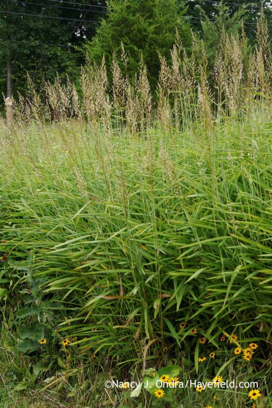 Graybeard grass or frost grass (Spodiopogon sibiricus) [Nancy J. Ondra at Hayefield]