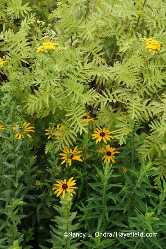 Orange coneflower (Rudbeckia fulgida var. fulgida) with 'Isla Gold' tansy (Tanacetum vulgare) [Nancy J. Ondra at Hayefield]