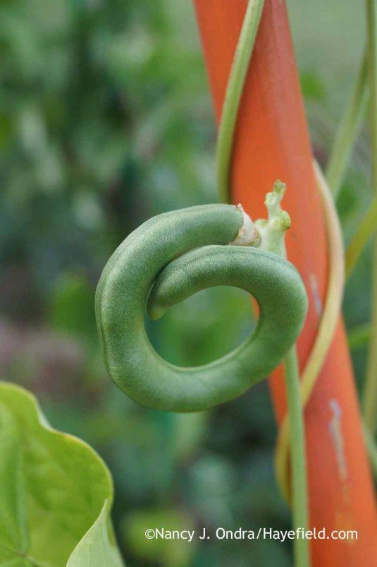 Pretzel bean (Vigna unguiculata) [Nancy J. Ondra at Hayefield]