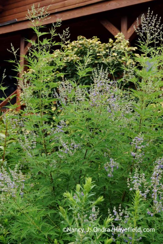 Cut-leaved chastetree (Vitex negundo 'Heterophylla') [Nancy J. Ondra at Hayefield]