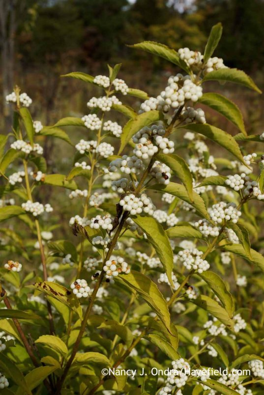 White-fruited beautyberry (Callicarpa dichotoma f. albifructa) [Nancy J. Ondra at Hayefield]