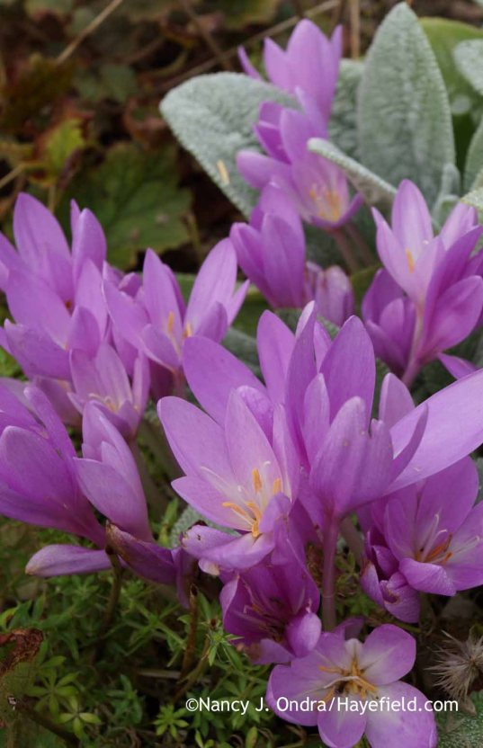 Colchicum speciosum coming up through pink crosswort (Phuopsis stylosa) [Nancy J. Ondra at Hayefield]