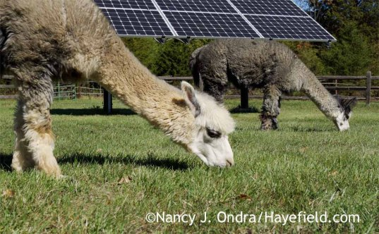 Daniel and Duncan enjoying the new grass [Nancy J. Ondra at Hayefield]