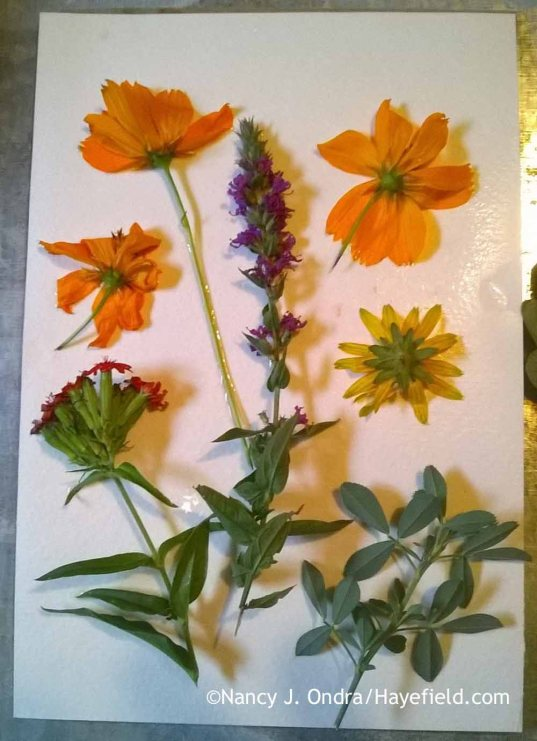 Eco printing with (from top left) orange cosmos (Cosmos sulphureus), purple loosestrife (Lythrum)--found in the meadow, not my garden!--orange coneflower (Rudbeckia fulgida), alfalfa (Medicago sativa), and Maltese cross (Lychnis chalcedonica) [Nancy J. Ondra at Hayefield]