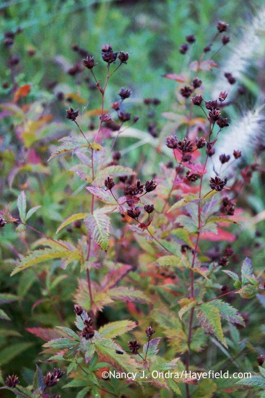 American ipecac (Gillenia stipulata) seedheads [Nancy J. Ondra at Hayefield]