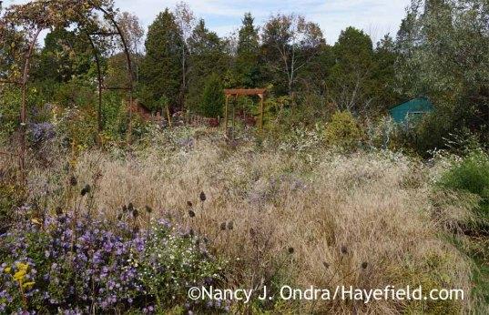 Tufted hair grass (Deschampsia cespitosa) in the Side Garden at Hayefield [Nancy J. Ondra]