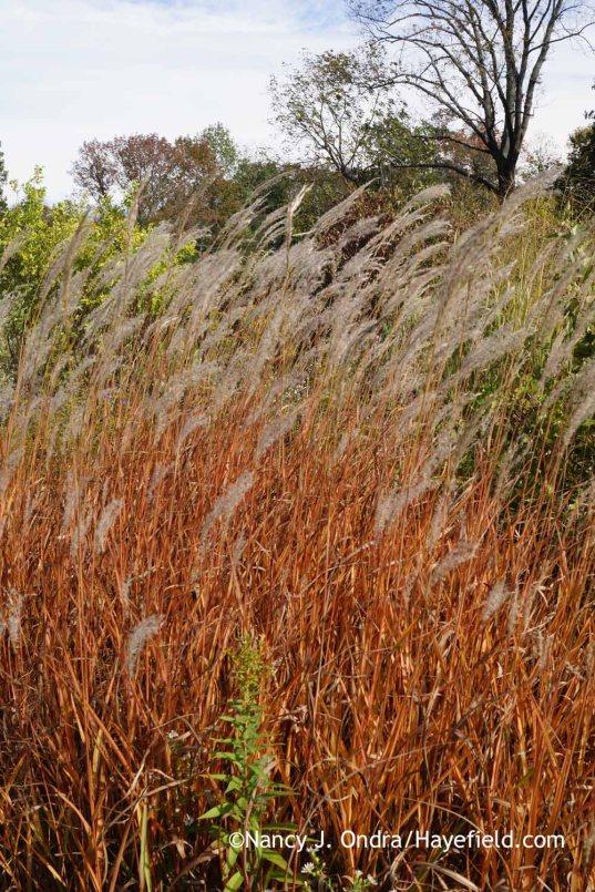 Flame grass (Miscanthus 'Purpurascens') [Nancy J. Ondra at Hayefield]