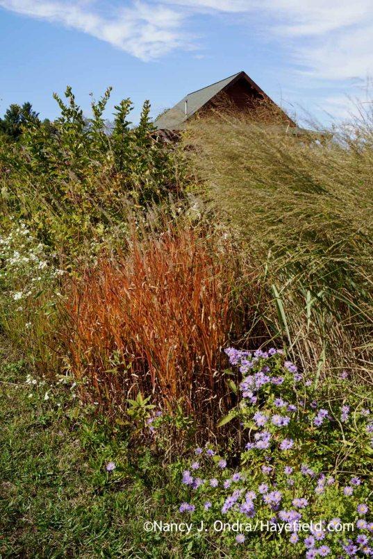 Aromatic aster (Symphyotrichum oblongifolium), flame grass (Miscanthus 'Purpurascens'), and bitter panic grass (Panicum amarum) in The Shrubbery [Nancy J. Ondra at Hayefield]