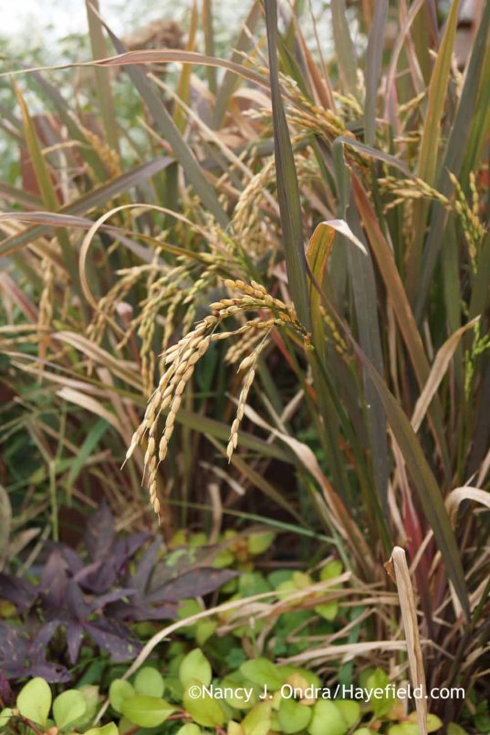 'Black Madras' rice (Oryza sativa) [Nancy J. Ondra at Hayefield]