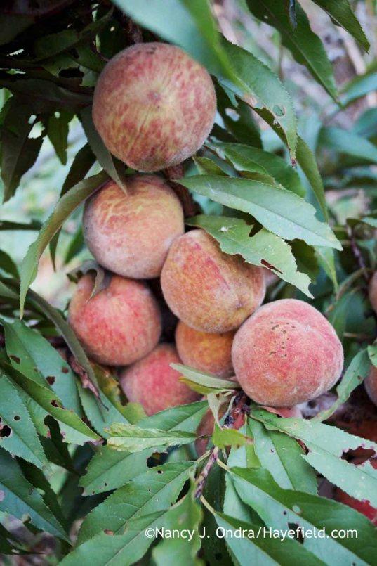 The fruits of a seedling purple-leaved peach (Prunus persica) [Nancy J. Ondra at Hayefield]