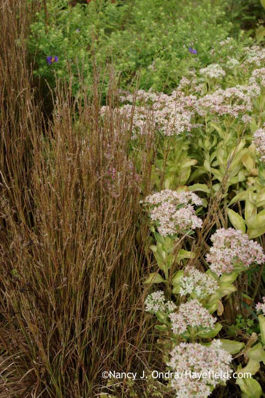 'Prairie Munchkin' little bluestem (Schizachyrium scoparium) with Sedum alboroseum 'Mediovariegatum' [Nancy J. Ondra at Hayefield]