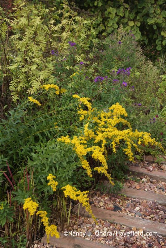 'Solar Cascade' Short's goldenrod (Solidago shortii) [Nancy J. Ondra at Hayefield