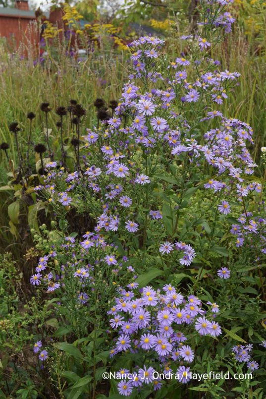 Smooth aster (Symphyotrichum laeve) with the seedheads of purple coneflower (Echinacea purpurea) [Nancy J. Ondra at Hayefield]