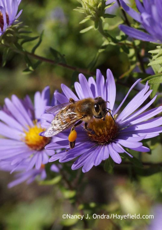 I don't know who is happier with the abundance of asters right now: me or the bees! [Nancy J. Ondra at Hayefield]