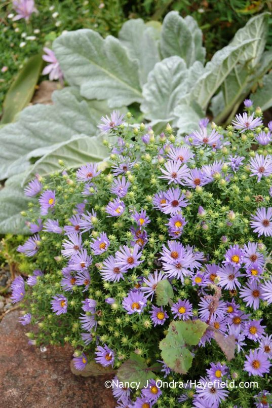 Aromatic aster (Symphyotrichum oblongifolium) against silver sage (Salvia argentea) [Nancy J. Ondra at Hayefield]