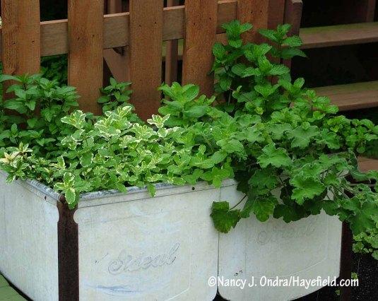 Peppermint geranium (Pelargonium tomentosum) with pineapple mint (Mentha suaveolens 'Variegata') and other true mints [Nancy J. Ondra/Hayefield.com]