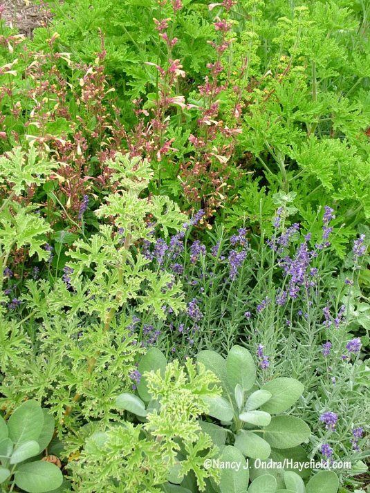 'Lady Plymouth' and rose geranium (Pelargonium graveolens) with 'Summer Glow' agastache, English lavender (Lavandula angustifolia), and 'Berggarten' sage (Salvia officinalis) [Nancy J. Ondra/Hayefield.com]