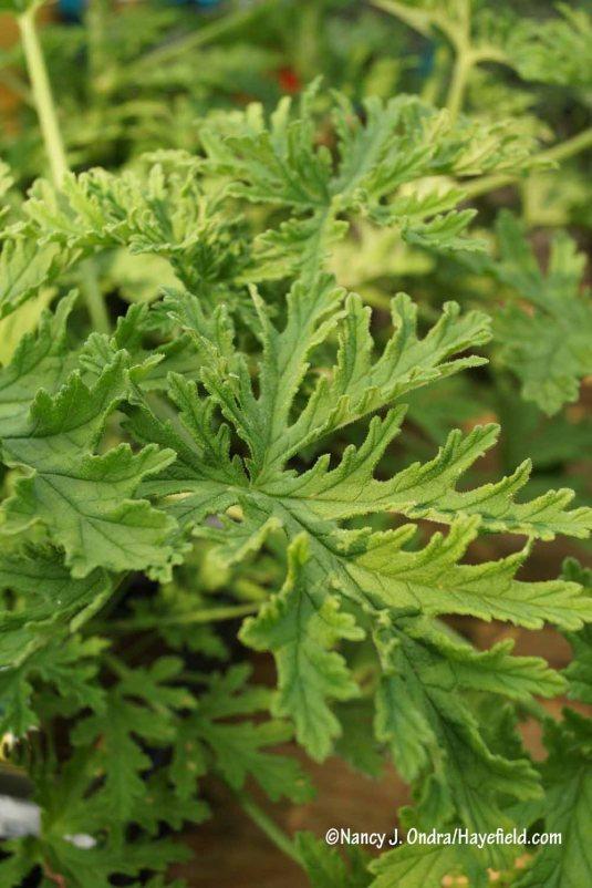 Citrosa geranium (Pelargonium citrosum) [Nancy J. Ondra/Hayefield.com]