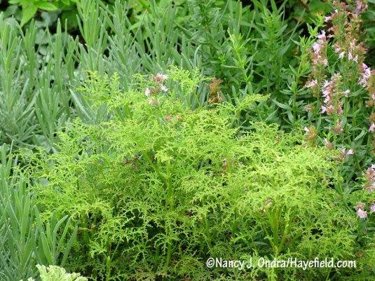 Fernleaf geranium (Pelargonium denticulatum 'Filicifolium') [Nancy J. Ondra/Hayefield.com]