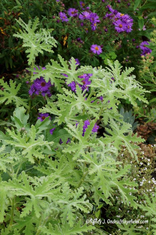 'Peppermint Lace' geranium (Pelargonium) [Nancy J. Ondra/Hayefield.com]