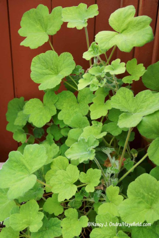 Peppermint geranium (Pelargonium tomentosum) [Nancy J. Ondra/Hayefield.com]