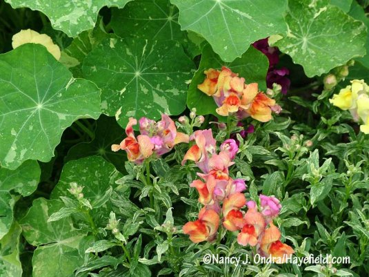 Showy flowers can also help to balance equally eye-catching foliage, as in this pairing of 'Frosted Flames' dwarf snapdragon (Antirrhinum majus) and 'Alaska' nasturtium (Tropaeolum majus). [Nancy J. Ondra/Hayefield.com]