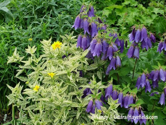 The rich purple-blue bells of 'Sarastro' bellflower (Campanula) with brightly variegated 'Loraine Sunshine' oxeye (Heliopsis helianthoides) [Nancy J. Ondra/Hayefield.com]
