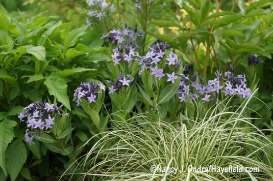 'Blue Ice' bluestar (Amsonia) with cream-striped 'Evergold' sedge (Carex oshimensis) [Nancy J. Ondra/Hayefield.com]
