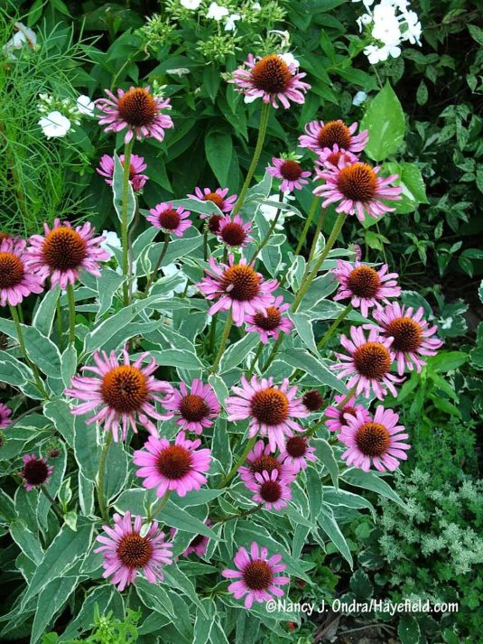 The fine ivory edge on the leaves of 'Prairie Frost' purple coneflower (Echinacea purpurea) adds an extra touch of charm to its pink blooms. [Nancy J. Ondra/Hayefield.com]