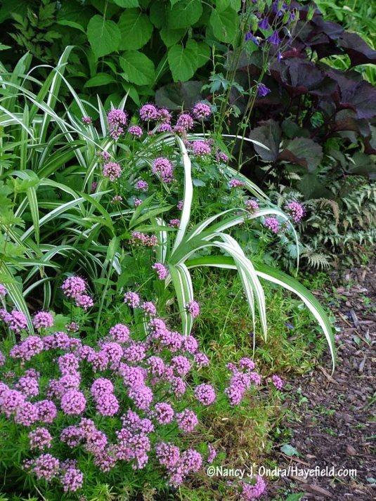 Pink crosswort (Phuopsis stylosa) with 'Kwanso Variegated' tawny daylily (Hemerocallis fulva) [Nancy J. Ondra/Hayefield.com]